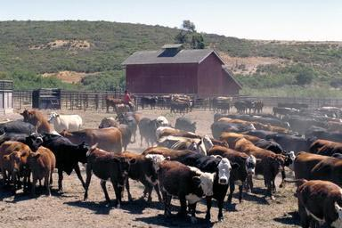cattle, ranch, Lompoc, California, agriculture, horses, coral.