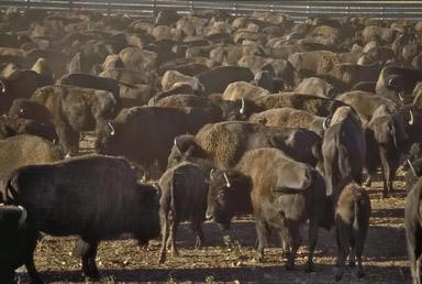 Crow, farming, buffalo, bison, Montana, native american, indian, animals, reservation, roundup, herd