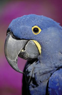 parrot, macaw, hyacinth, bird, exotic bird, Vallejo, California