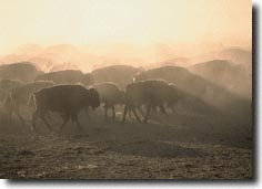 The Crow buffalo herd